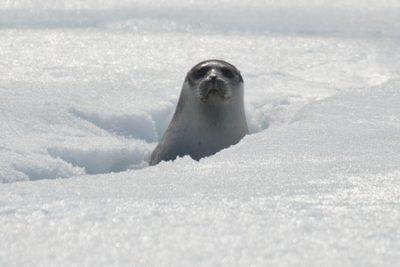 foca nella banchisa foche