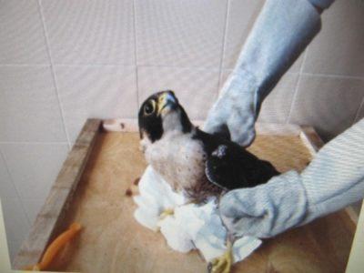 falco pellegrino ferito lipu