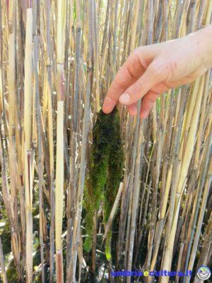 alghe canneto trasimeno