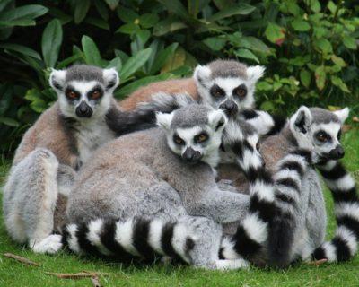lemur catta stagione degli amori