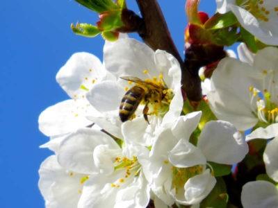 comuni amici delle api ape su fiore il miele delle meraviglie