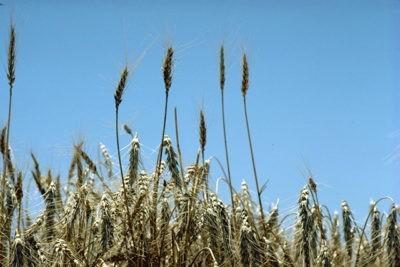 genetica cereali