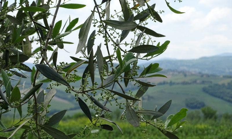 ulivo olive ulivo della rinascita