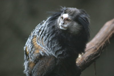 scimmia con parkinson