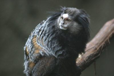 marmosetta