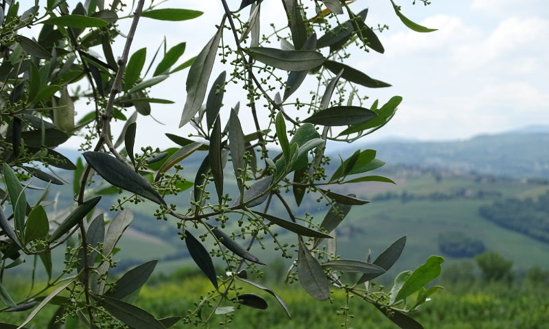 olivo assoprol olio d'italia lorenzo cantoni