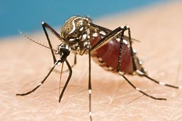 zanzara zika vermifugo