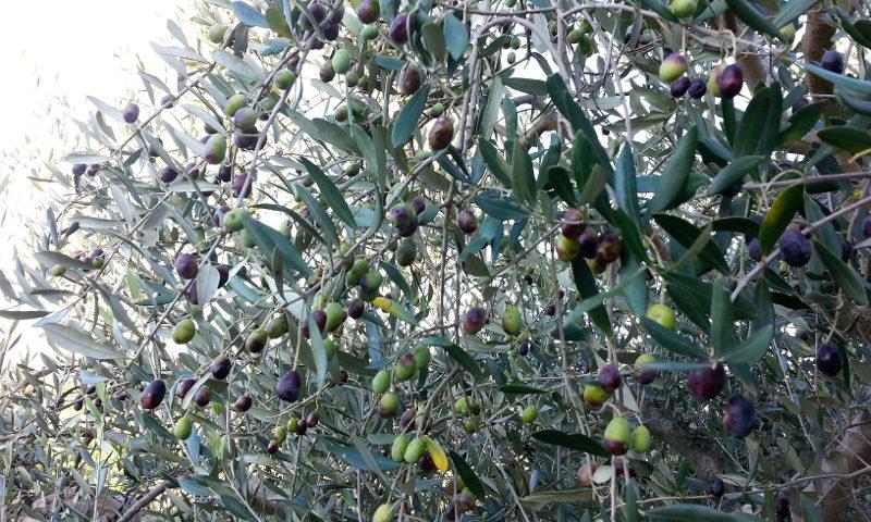 olio d'italia camminata tra gli olivi olive olio polifenolio day confagricoltura umbria paesaggio olivato autunno a foligno oro di spello