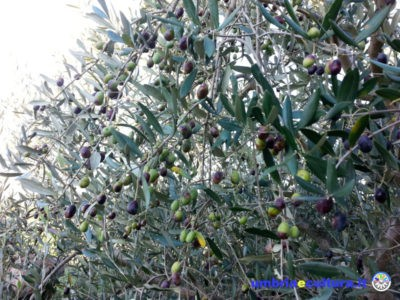 olive olio polifenolio day