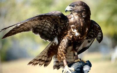 falconeria falco
