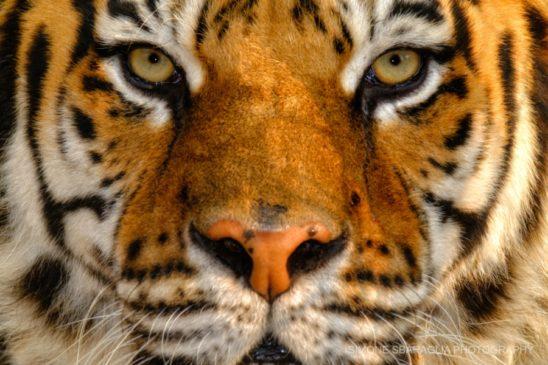 tigre simone sbaraglia