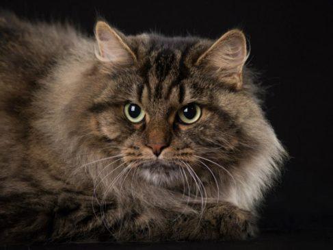 gatto siberiano umbria pet