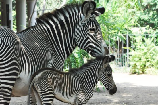 zebra reale