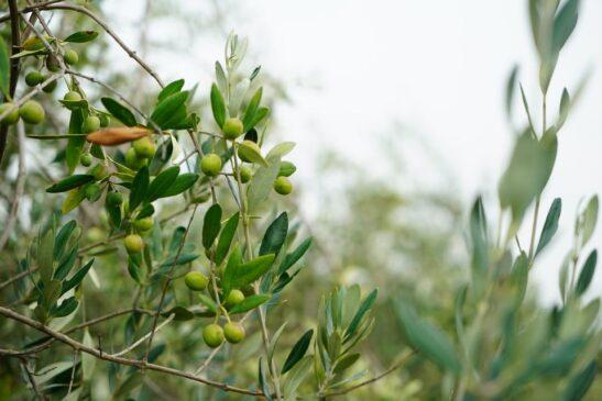 tracciabilità olive