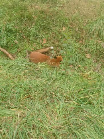volpe salvata dal bracconaggio
