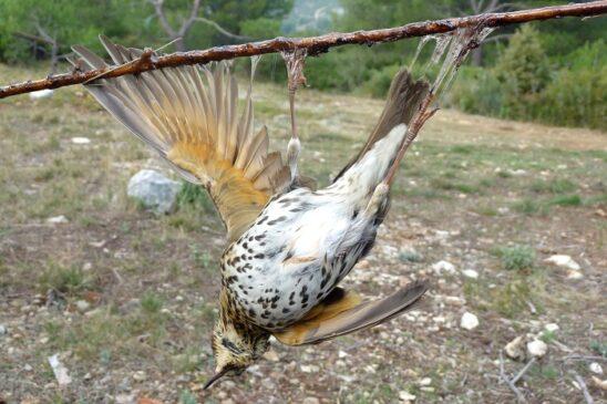 cattura uccelli vischio