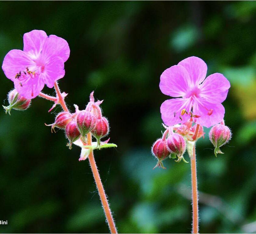 geranium lucarini venanzoni & wagens