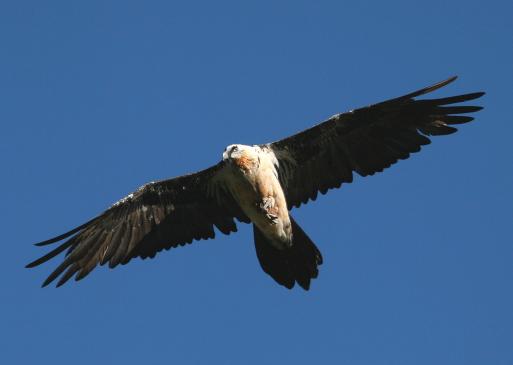 uccelli più minacciati